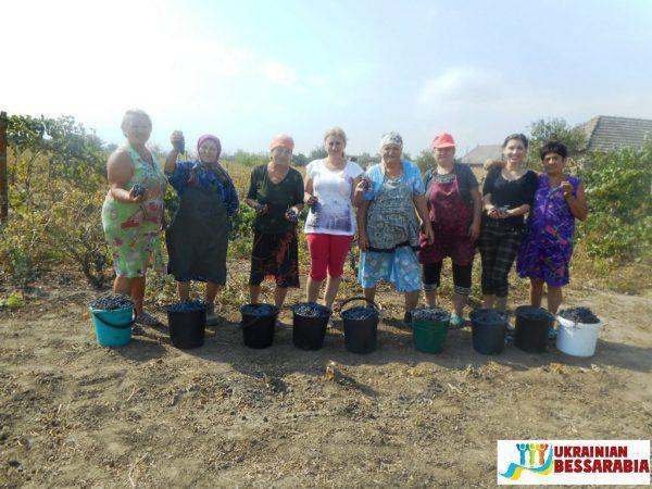 Уборка винограда в Арцизском районе
