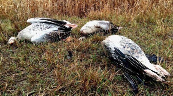 В Нацпарке «Тузловские лиманы» отстреляли редкий вид гусей в тот момент, когда за птицами наблюдал эколог