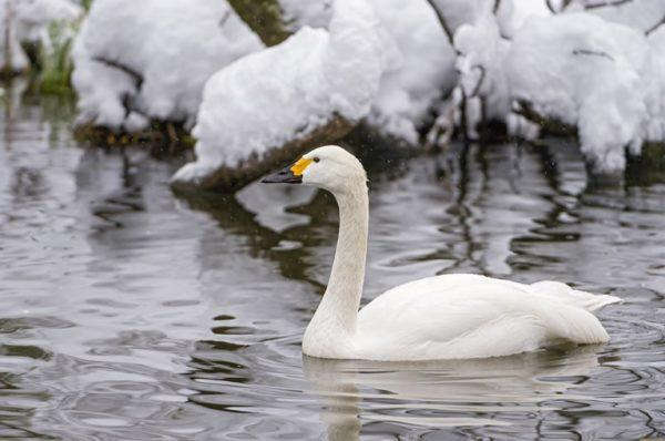 В Одесской области была спасена стая лебедей из ледяной ловушки