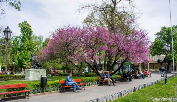 В Одесском Горсаду сломалось знаменитое иудино дерево