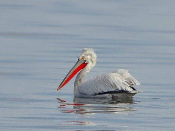 На берегу Тилигульского лимана был спасен кудрявый пеликан
