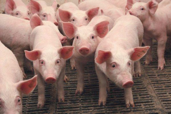 В Одесской области выявлен очаг африканской чумы у свиней