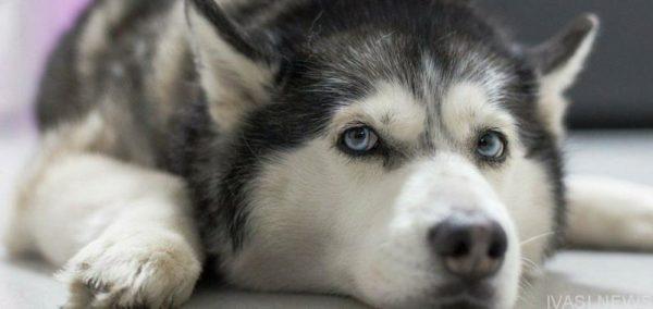 В Красноселке жительница села застрелила собаку-хаски из-за двух задушенных кур