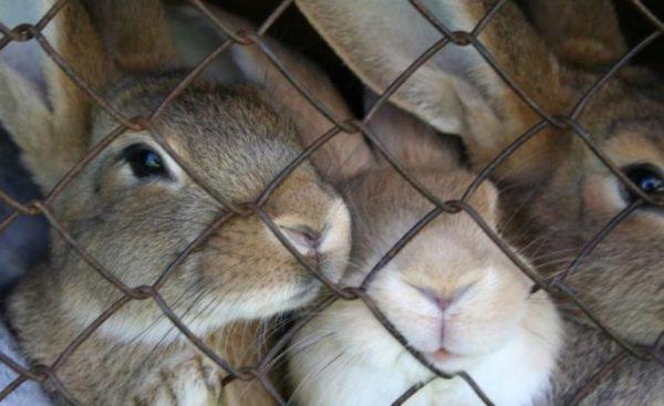 """""""Растерял всех кроликов"""" житель Рени пытался совершить кражу животных"""