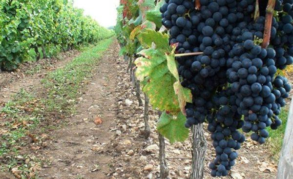 В Одесской области резко сократились площади виноградников