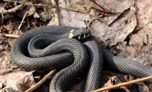 Одесскую область заполоняют змеи