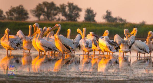 В Одесской области орнитологи пересчитали пеликанов в дельте Дуная