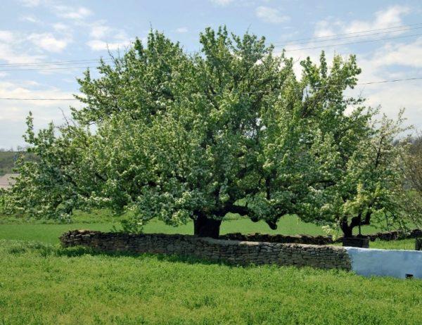 В Одесской области зацвела четырехсотлетняя груша