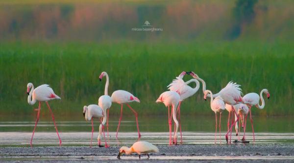 Дельту Дуная облюбовали экзотические розовые фламинго