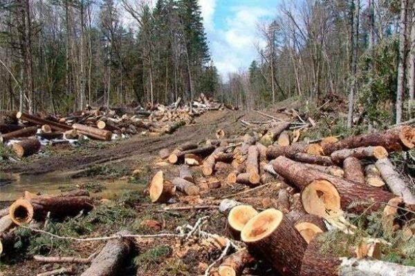 В Одесской области были незаконно вырублены более трех сотен деревьев