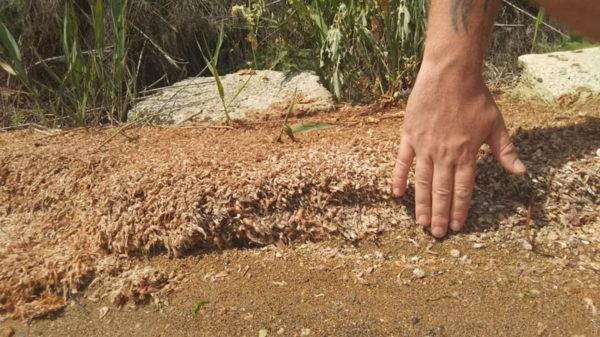 На Хаджибейском лимане рыбаки обнаружили массовый замор креветок