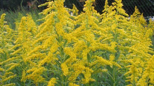 Жителей Одесской области призывают избавляться от аллергенного сорняка-амброзии