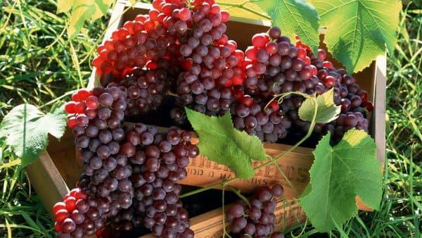 Фермерам Бессарабии не выгодно выращивать технический виноград из-за уменьшения винопроизводства и розлива