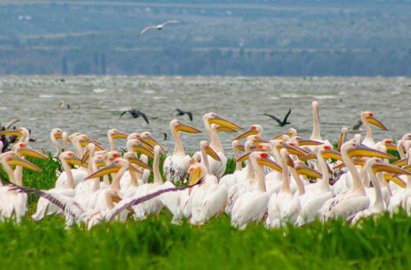 Пеликаны заселяют искусственный остров в Одесской области