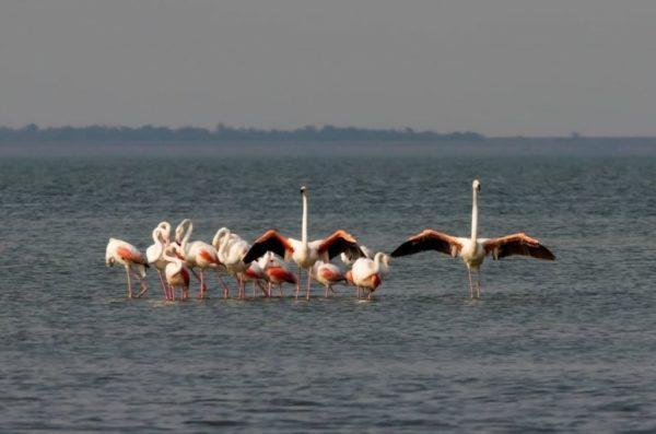 Осенняя миграция: в Одесскую область прилетели розовые фламинго