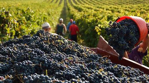 В Одесской области прогнозируют плохой урожай винограда