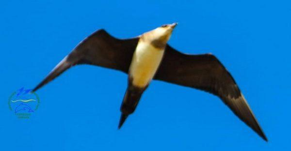 В Бессарабии зафиксировали птиц-клептопаразитов из Тундры